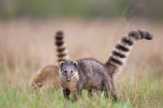Mountain Coatimundi as Pets | ... coati coati s coat coati as pets coati pet pet coati coati mundi coati-  HAS ANYONE SEEN ONEN OF THESE BEFORE IN THE WILD?? I SAW ONE TODAY BY MY WORK RUNNING ACROSS THE STREET