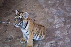 Baby Tiger! by Kolin Toney, via Flickr