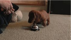 This Dog Owner Might Regret Teaching His Adorable Puppy How To Ring A Bell For Treats