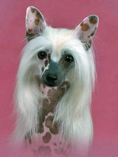 """I am so in love with my breed. Chinese Crested. Ch Risin Star's China Doll """"China"""""""