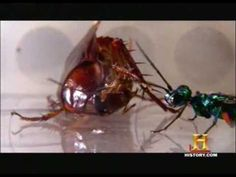 Jewel wasp turns cockroach into zombie host