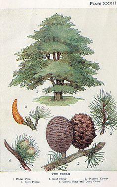 Vintage Botanical Prints, Botanical Drawings, Botanical Art, Botanical Gardens, Illustration Blume, Illustration Botanique, Botanical Illustration, Merian, Cedar Trees