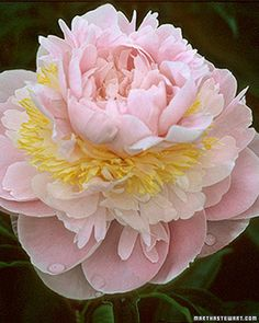 My second FAVORITE flower, behind Lilacs.  I Like lots of them in a large container to fill your home with sweetness.  Peony info from Martha Stewart (list of varieties).