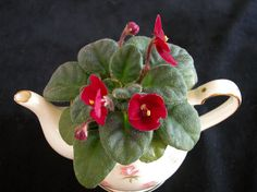 What plants are your best performers? - African Violets Forum - GardenWeb