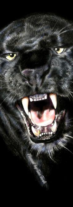 Panther ❇ Téa Tosh