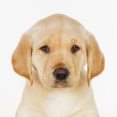 Daily Dose - April 21, 2016 - Pouting Pup - Yellow Lab Puppy 2016©Barbara O'Brien Photography