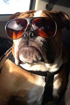 English Bulldog Puppies For Sale | Puppys | Bull Dog Pups | AKC | Brindle | White | Black Tri