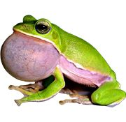 Frog PNG Images On this site you can download free Frog PNG image with transparent background.