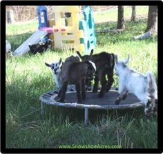 1-toys-for-goats-to-keep-them-busy