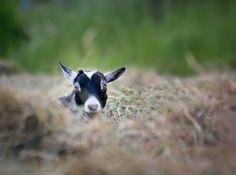 The Goats of Mapleridge Farm - Modern Farmer Modern Farmer, Farm Animals, Sheep, Goats, Kid, Horses, Cute, Child, Kawaii