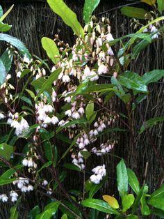 "Eliocarpus, or ""Blueberry ash"" Australian native plant. From my garden here in Sydney! Very pretty"