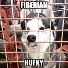 #fiberian #hufky @dogsoffreedom