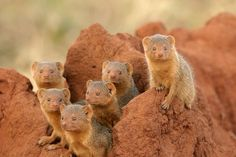 Africa | Portrait of seven dwarf mongooses on a termite mound. Tanzania | © National Geographic / Roy Toft