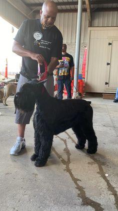 Schnauzer Breed, Schnauzer Grooming, Giant Schnauzer, Schnauzers, Pup, Future, Dogs, Animals, Black