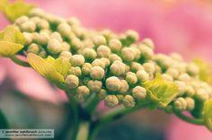 Knospen einer rosa Hortensie - Hydrangea (c) by Jennifer Vahlbruch