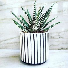 Zebra cactus in a West Elm pot (kind of reminds me of Beetlejuice!)
