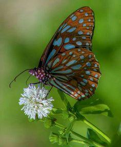 ~butterfly by hsiangjungwu Beautiful Bugs, Beautiful Butterflies, Beautiful Horses, Animals Beautiful, Butterfly Crafts, Butterfly Flowers, Butterfly Wings, Butterfly Kisses, Butterfly Species
