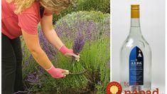 Keď sa strihala levanduľa, moja teta vždy zaliala hrsť kvetov obyčajnou Alpou a nechala stáť: Najlepší pomocník do každej rodiny!
