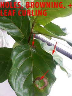 Ficus Lyratas  growth and health Forum - GardenWeb - problems with fiddle leaf figs, how to trip roots and repot, etc. In depth.