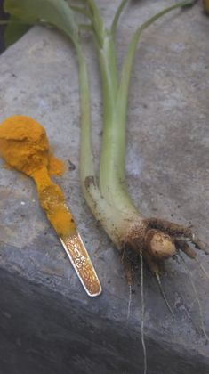 How and why use turmeric? Wild Elephant, Plastic Spoons, Beautiful Islands, Turmeric, Sri Lanka, How Are You Feeling, Eat