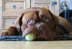 #French #Mastiff... Great shot!