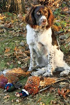 Picking the right rifle for the big hunt is vitally important because it can make or break the hunt itself. You never know what problems may arise from having the wrong rifle at the hunt, so ensure that you have taken the time to pick Waterfowl Hunting, Coyote Hunting, Pheasant Hunting, Hunting Dogs, Turkey Hunting, Archery Hunting, Springer Spaniel Puppies, English Springer Spaniel, Chien Springer