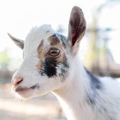 Peace comes from within. Do not seek it without. by Tc Morgan on 500px. Buddah, nigerian dwarf goat.