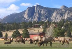 Estes Park, CO where the Elk roam freely