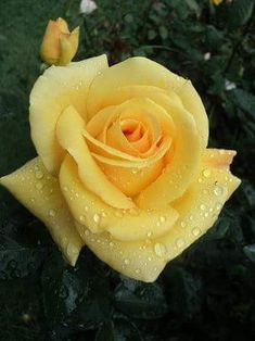 Love yellow roses