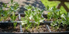 Nejlépe chutná ten z domácí zahrádky Purple Flowers, White Flowers, Beautiful Flowers, Planting Seeds, Planting Flowers, Herb Garden, Garden Plants, Types Of Herbs, Best Perennials