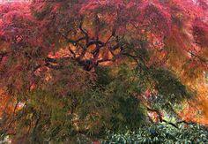 Japaninvaahtera - puu vaahtera japaninvaahtera koristepuu koristeellinen puistopuu syksy syysvärit punainen keltainen lehtipuu kiemurainen runko vänkkyrä oksa Acer