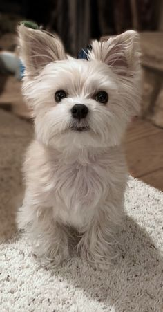17 Best Morkie images in 2019 | Dogs, Animals, Cute puppies