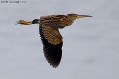 1S4A4001  Fairly regular bird here in flight.