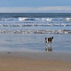 Tess is loving the surf.#bordercolliesofinstagram #water_brilliance #australiaslight #surfcoast#angleseabeach #dogsofinstagram #dogslife #lovedogs by sumaryb http://ift.tt/1KosRIg