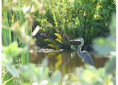 heron, Sanibel Island, Florida