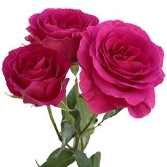 FiftyFlowers.com - Raspberry Fuchsia Spray Rose. Meaning & Symbolism: In general, pink rose expresses giving thanks and joy, as well as beauty and grace. Dark pink shades are most often used to express thankfulness, gratitude and appreciation.