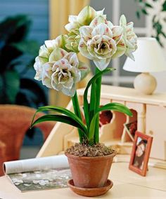 Double-Flowered Amaryllis 'Nymph' | Flower Bulbs from Spalding Bulb