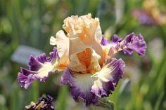 TB Iris germanica 'Celebratory' (Ghio, 2013)