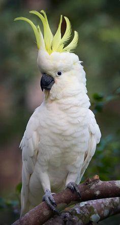 Rare Birds, Exotic Birds, Tropical Birds, Colorful Birds, Beautiful Birds, Animals Beautiful, Animals And Pets, Cute Animals, Australian Parrots