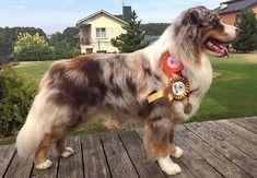 Natural tail Australian Shepherd