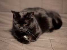 Wendy Animal ID12455589  SpeciesCat  BreedDomestic Shorthair/Mix  Age12 years 6 months 1 day  GenderFemale  SizeMedium  ColorBlack  Spayed/Neutered  DeclawedNo  HousetrainedYes  LocationFoster Home