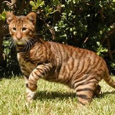 Toyger! A tiger cat! I want one so bad!!!!!! :)