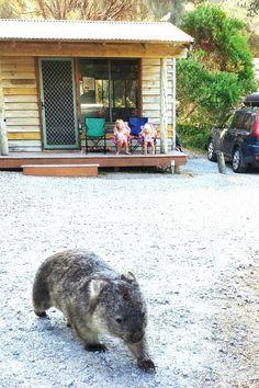 Wombat at Wilsons Promontory National Park - Victoria, Australia