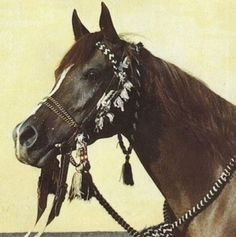 Mahiba, an Arabian mare foaled in Egypt in 1966