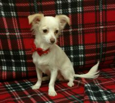Micah is a 8 month-old long-hair Chihuahua mix who weighs about 5 pounds. He gets along will with other dogs. The adoption fee helps cover spay/neuter, vaccinations, microchip, vetting, food and care. Call Pets Without Partners at 243-6911. Go to www.petswithoutpartners.org. Go to www.redding.com for more adoptable pets.