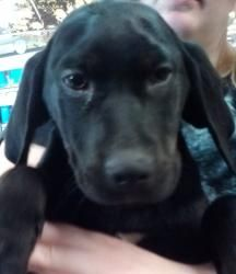 #ILLINOIS ~ Constance is an #adoptable #Foxhound #Labrador mix #Puppy #Dog in #Shorewood. Mama Foxhound was dumped pregnant. These little black babies are hers & look like black labs until they open their mouths!  They are about 12wks & All dogs leav'g Cache Creek are UTD shots wormed & HW tested (if age-appropriate) & started on HW preventative spayed/neutered  To #adopt this velvet cuddle-up pup phone 618-893-2500