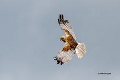 Bruine Kiekendief, Marsh Harrier, Circus aeruginosus