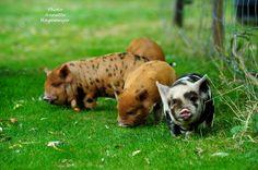 Zwijnstein Kune Kune Pig farm Holland