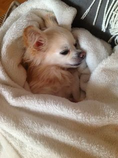 Convalescence - Gaby the Chihuahua