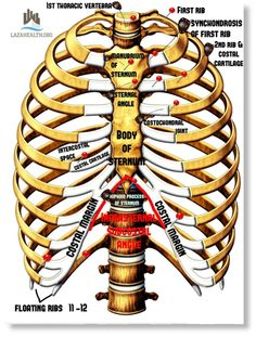 Anatomy of the Thorax Part 1: Thoracic Skeleton (source: Moore Clinically Oriented Anatomy) - LazaHealth Medical Library